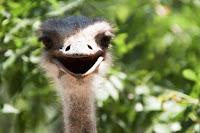 devekuşu tatlı bakış