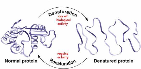denaturing of proteins