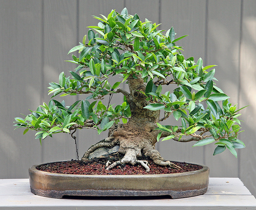 il ficus classico bonsai da interno riesce a vegetare bene in ambienti poco luminosi e. Black Bedroom Furniture Sets. Home Design Ideas