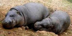Foto de pequeños hipopótamos durmiendo