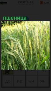 на поле выросла пшеница, спелые колоски