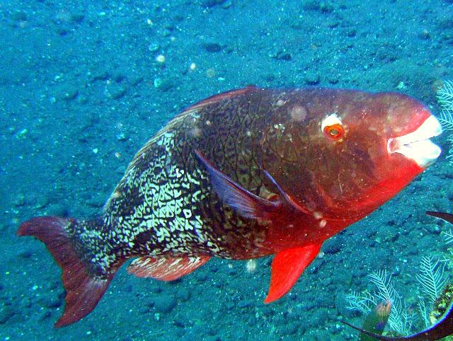 redlip parrotfish, tulamben, bali, indonesia
