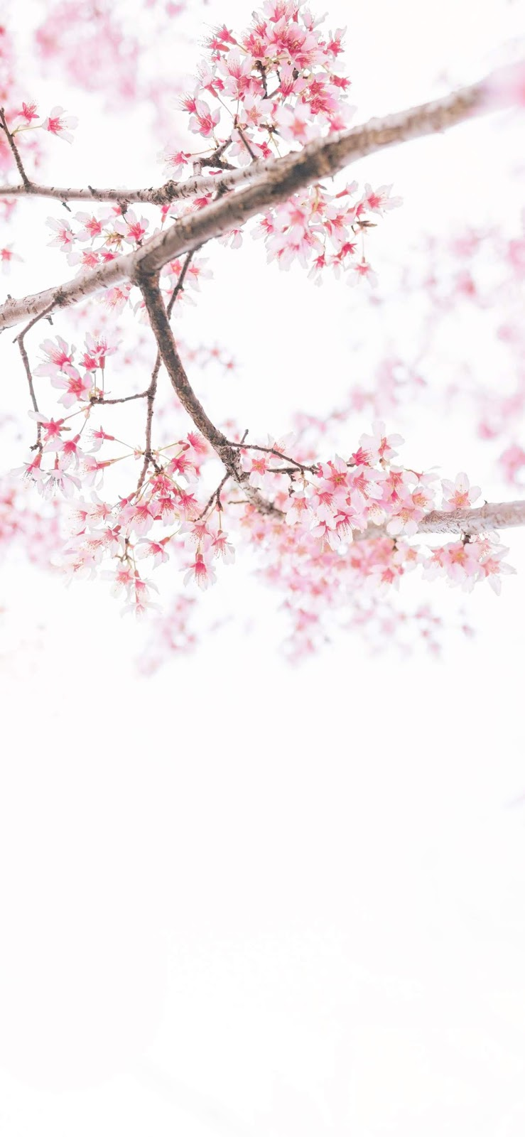 cherry blossom wallpaper iphone xs max