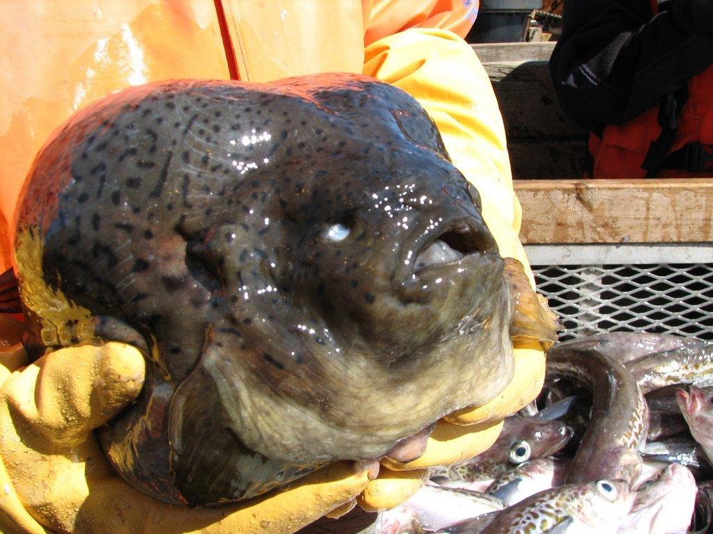 ugly face fish - HD1024×768
