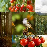 Artes de tomates e de tomateiros, passarinhos comendo tomates