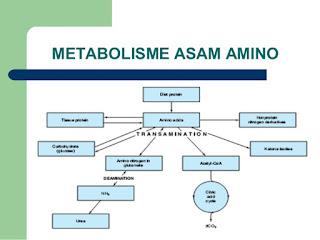 Pengertian Metabolisme Asam Amino