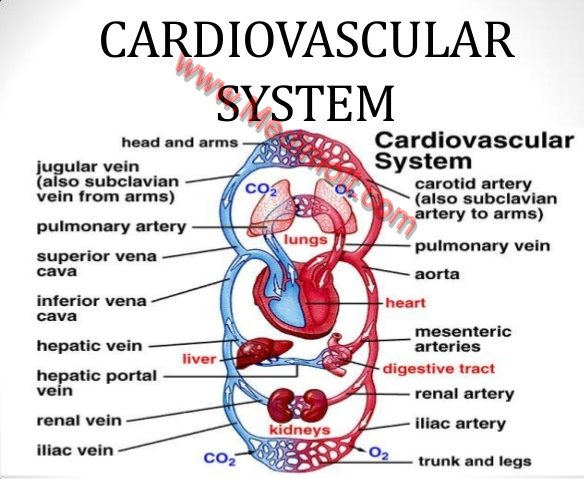 How does the CARDIOVASCULAR SYSTEM Work Location and ...