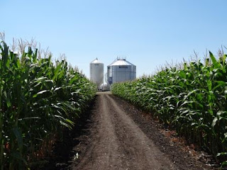 Field of corn with silos in background
