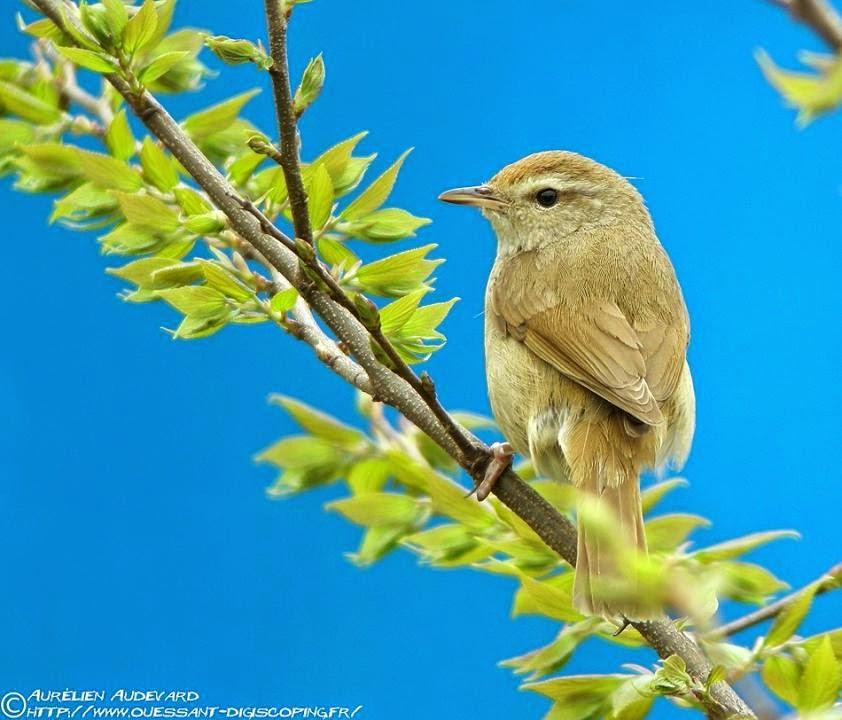 Japanese Bush-warbler