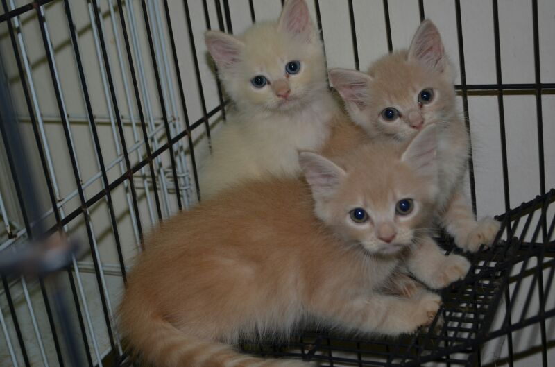 Meow Meow's Land: Kittens for Sale (Mixed Breed - tabby/himalayan) *SOLD