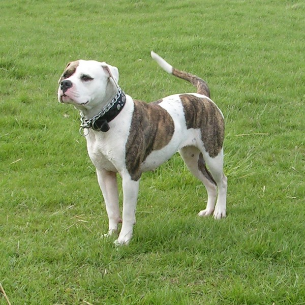 All About Animal Wildlife: American Bulldog Images and Facts