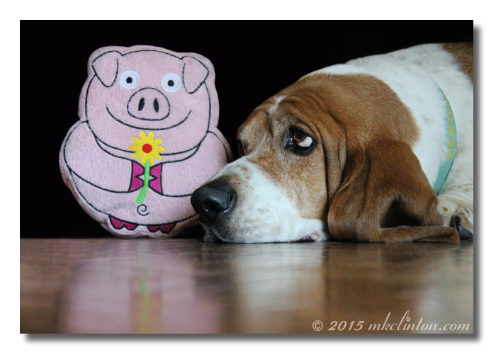 A Basset and his favorite PrideBites Pig