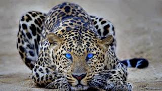 Leopardo ojos azules