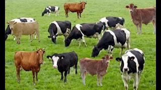 انهال أشقاء بالضرب على شقيقتهم بسبب رفضها الزواج بمهر ثمين وصل إلى 40 رأسًا من البقر .