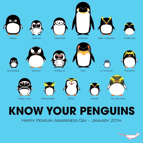 Know your penguins identification chart. Cute cartoons comparing types of penguin. No Kicking Penguins and other stories about penguins. marchmatron.com