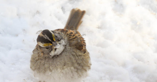 White-Throated Sparrow Searching for Seeds