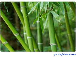 Bambu Adalah Tanaman dengan Kecepatan Tumbuh Tercepat