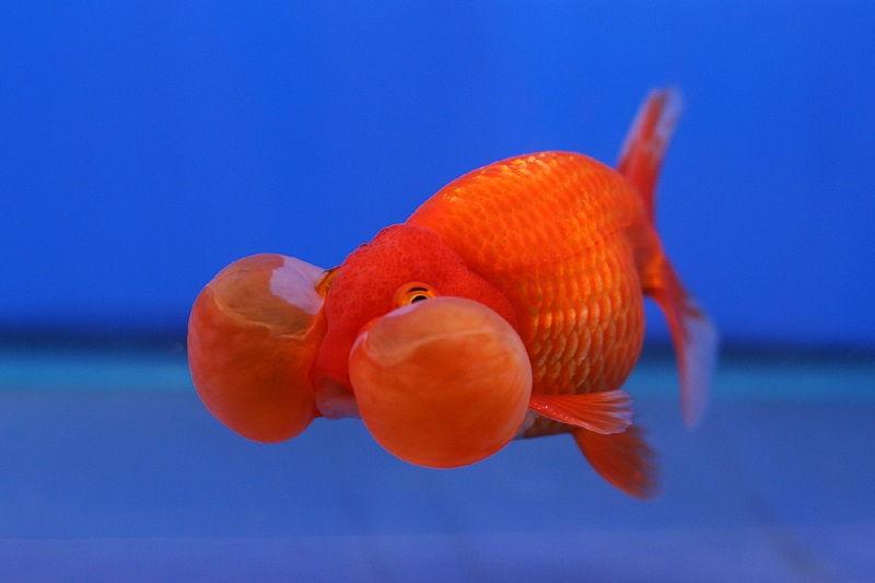 Cara Budidaya Ikan Koki Mata Balon Inilah Rahasianya