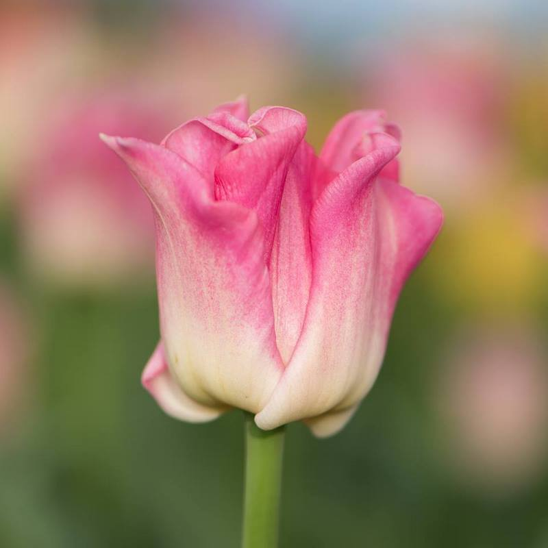 Tulipa 'Crown of Dynasty'