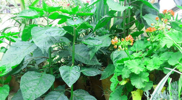 Medicinal plants in Nepal, India and the himalayas
