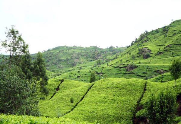 Hamparan hijau kebun teh di Agro Gunung Mas Puncak Bogor