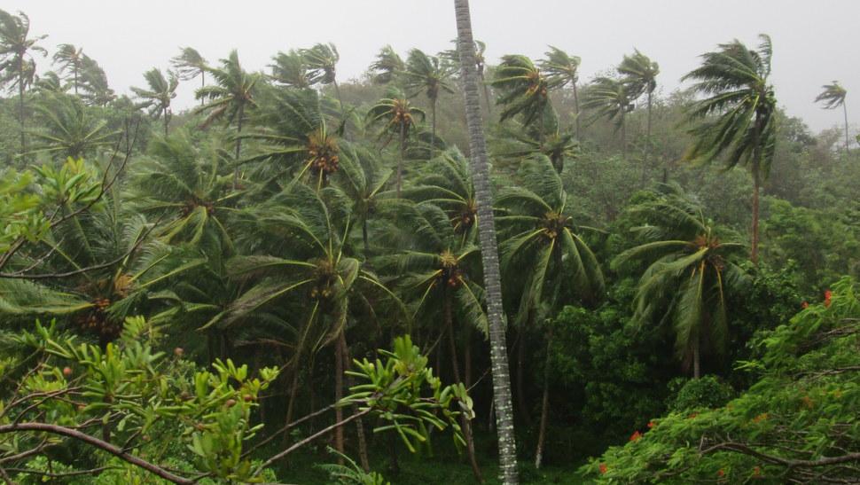 Rafales de vent dans les cocotiers de Moorea en Polynésie française