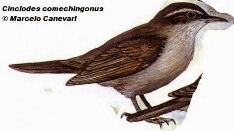 Remolinera serrana, Cinclodes comechingonus