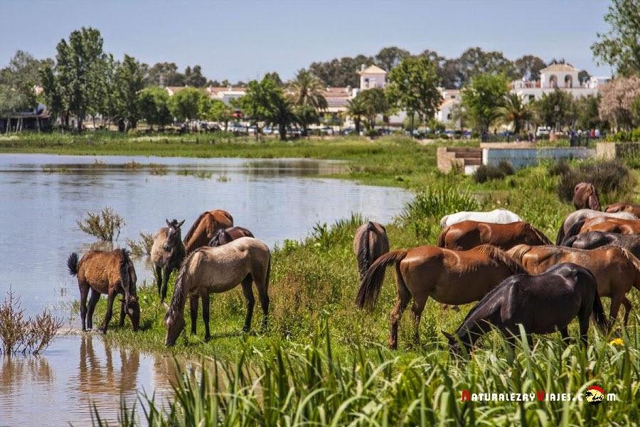 Caballos en las marismas del Rocío-Doñana