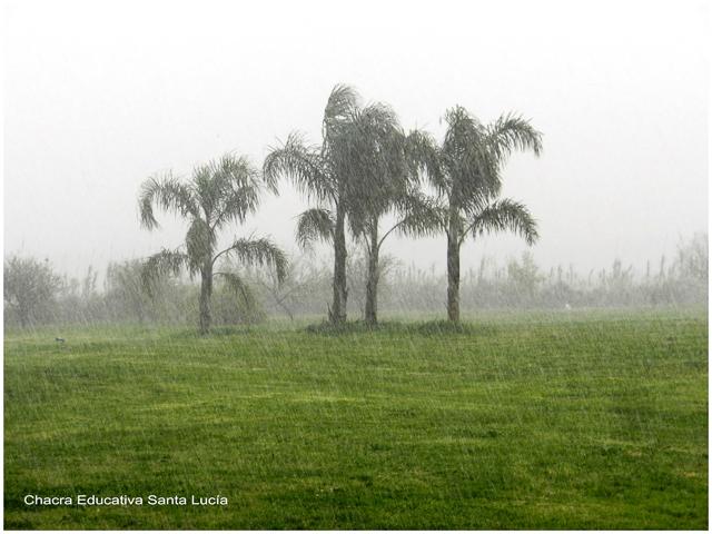 Palmeras pindó bajo la lluvia - Chacra Educativa Santa Lucía