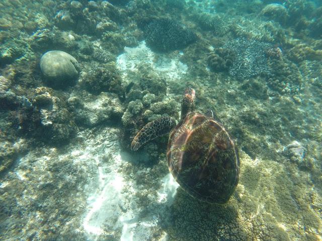 Apo island tortues