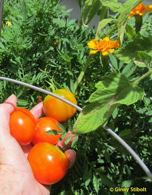 Hybriden, GMOs, Heirlooms und Penney Farms