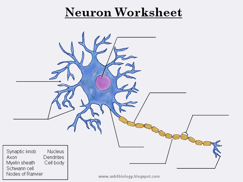 Biology: Neurons Structure and Info + Worksheet