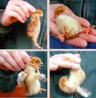 kelamin anak ayam