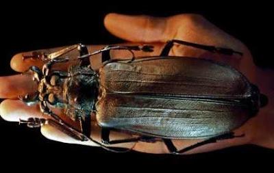 Inilah Serangga Terbesar di Dunia Yang Membuatmu Heran