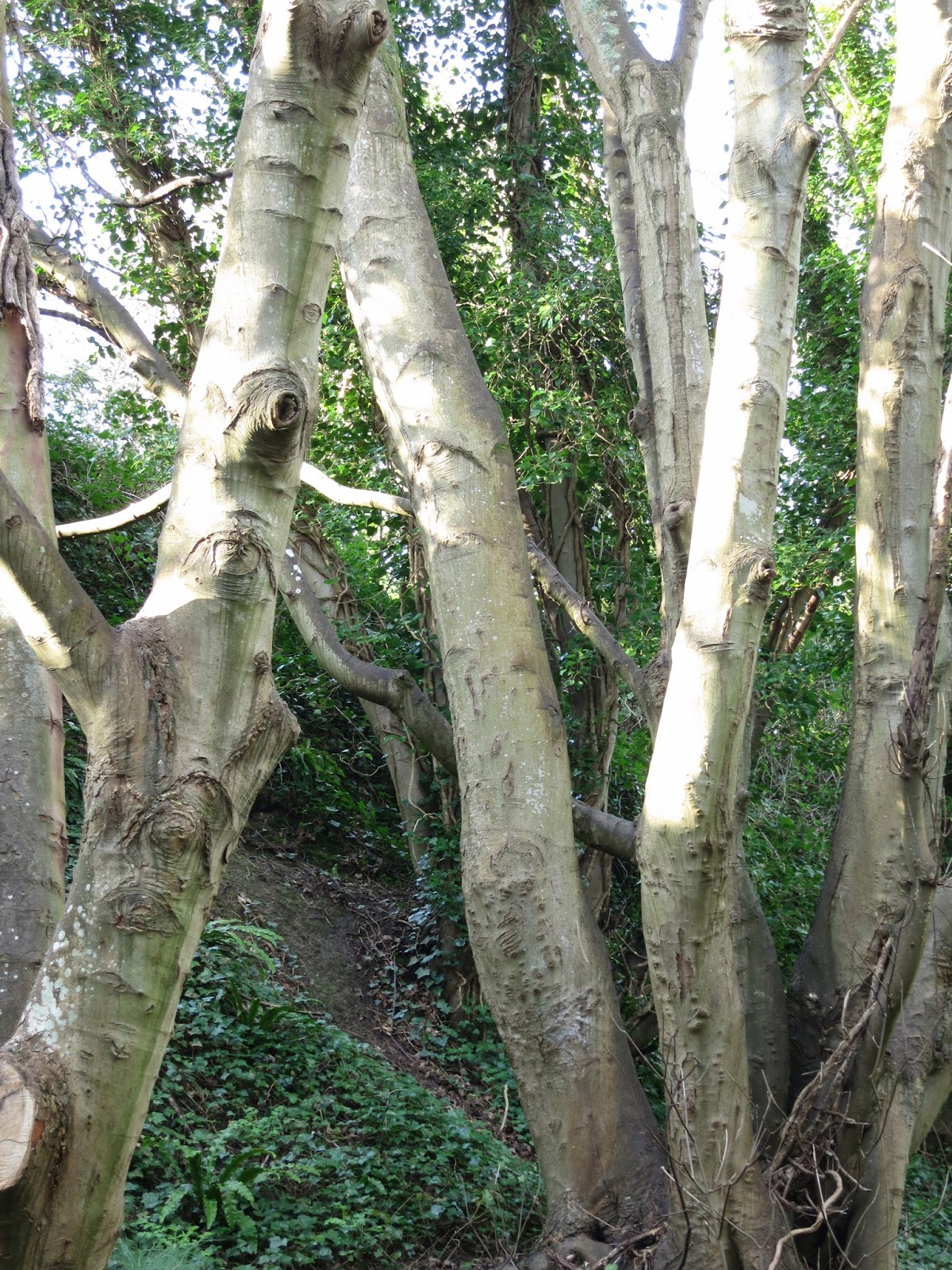 Trunks of sycamores without leaves on bank with ferns and ivy.