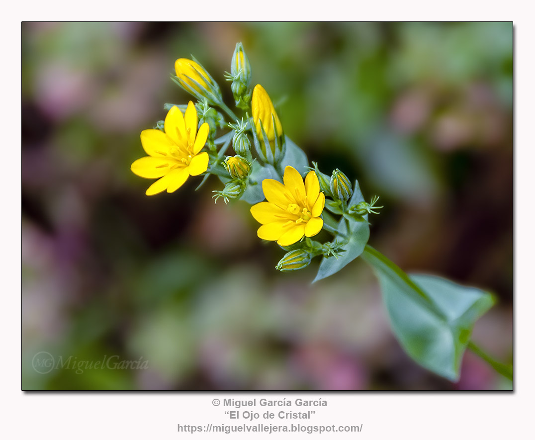 Blackstonia perfoliata - canchalagua española o centaura amarilla.
