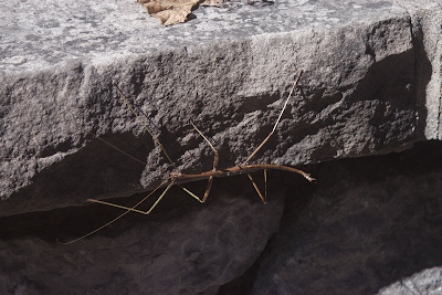 a photo of a stick-bug