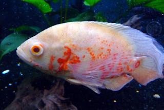Harga ikan oscar albino