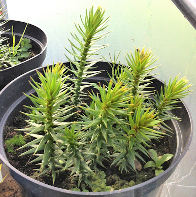 An image of young monkey puzzle trees growing in a pot in a polytunnel