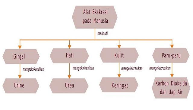 Peta Konsep Sistem Ekskresi Pada Manusia - Kelas 9