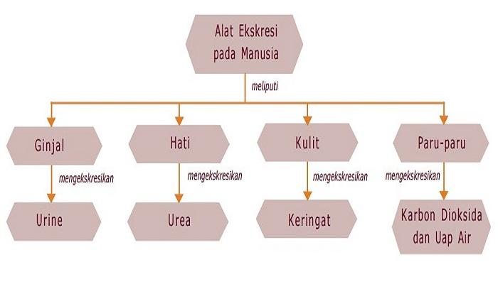 Sistem Ekskresi Pada Manusia - Kelas 9