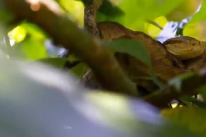 Pulau Ini Berisi 4.000 Ular Paling Mematikan di Dunia Berada