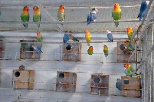 Cara Ternak Burung Lovebird Untuk Pemula Lengkap 100 Berhasil Jurusan Peternakan