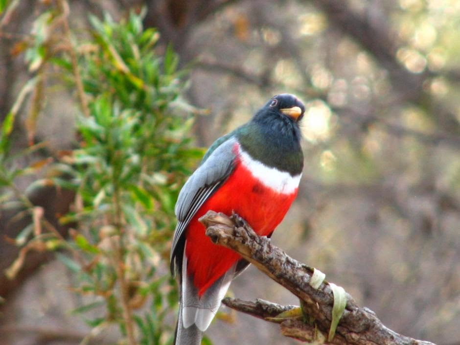 Coppery tailed Trogon