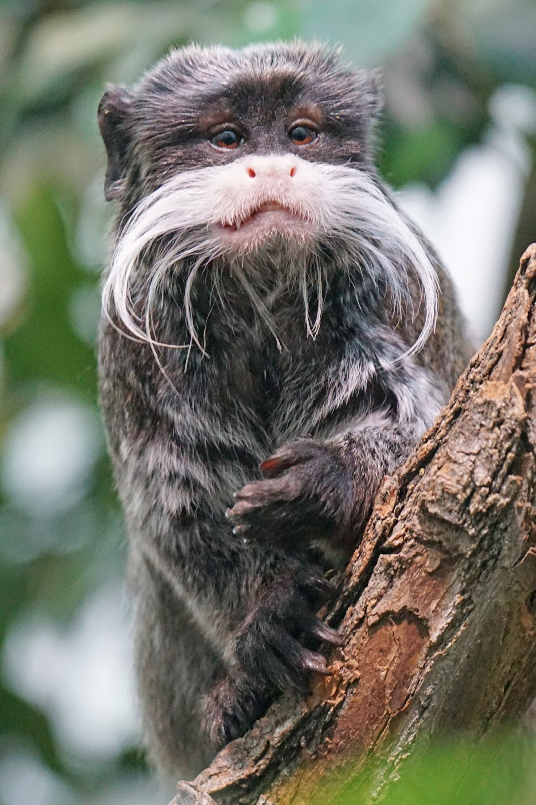 Funny picture of the emperor tamarin.