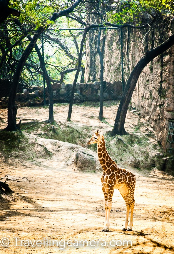Delhi Zoo  is one of the most popular place for folks visiting Delhi from other parts of the world or different Indian States. Especially Kids love to visit Delhi Zoological Park to experience controlled wildlife. This Photo Journey shares some of the photographs from Delhi, which is located near Old Fort in Indian Capital.Delhi Zoo is one of the very well maintained zoological parks in the country which has good number of wild animals and birds in it. This is located just next to the Old Fort and the lake. There is enough parking space outside the main gate. And it's recommended to eat something before entering into the zoo. Now eatables are not allowed inside and there is no option inside if you feel like eating somethingProbably Delhi Zoo is best place when you are planning an outing with Kids. Kids love going to the Zoo, watching different animals especially White Tiger, Giraffe, Lion, Zerba, Jaguar and colorful birds which can be rarely seen otherwise. There are few beautiful water bodies inside the Delhi Zoo, where you can find colorful birds taking bath or playing in groups. When we visited Delhi Zoo 4 years back, some of us were wondering that how is it ensured that birds don't move out of the Zoo, because many of these birds were not in any kind of enclosure. Few were of-course enclosed but many were not. It seems that high level of ecosystem is built in these Zological parks so that such birds which are free, don't feel like moving out. And here we are talking about birds which are not really seen in other parts of Delhi, except Okhla region.There are few golf-carts deployed, which can be used inside the zoo to move from one part of the Zoo to other. Delhi Zoo is spread over a huge area and at times, it becomes difficult to cover whole Zoo only by walking from one cage to another.There is a huge section for Jaguars in Delhi Zoo. This spotted cat most closely resembles the leopard physically, although it is usually larger, stronger, although behavioral and habitat is closer to those of the tiger. Dense rainforest is its preferred habitat of jaguars but they will range across a variety of forested and open terrains. Jaguars are strongly associated with the presence of water and is notable, along with the tiger, as a feline that enjoys swimming. The jaguar is largely a solitary, opportunistic, stalk-and-ambush predator.I have been to Delhi Zoo  many times and mostly with Kids  and a few times with Photography Enthusiasts. Delhi Zoo is one of the popular destination among folks who are in initial phase of learning Photography. I have also spent significant time in early days, as it has lot to offer for Photographers who wants to experiment a lot and learn from mistakes. There are lot of challenges that Zoo throws on a Photographer - Low light conditions and then moving subjects at distance etc.. This place helps a Photographer appreciate the importance of good zoom lenses, Image Stabilization capabilities and how fast these lenses are (f2.8, f3.4, f4.5 etc)Places like Delhi Zoo encourages families to spend quality time together and enjoy the holidays in better way. If people visiting the Zoo behave responsibly, ican become a great to spend weekends. As of now, families can't spend more time as there is no way to find eatables inside. If everyone behave responsibly, authorities can allow eatables. Although if planned well, it can be planned now as well. There are many isolated areas in Zoo, where canteens or restaurants can be setup and people should not be allowed take out any eatable beyond a boundary. Specially with kids, it's impossible be inside without anything to eat.Most of the animals are located on right side of the entrance gate. These animals include chimpanzee , hippopotamus , spider monkey  African wild buffalo , Giraffes, Gir lion, and Zebras . Going to the left, visitors will see animals including migratory birds like peafowl , and well as hyenas , macaques , and jaguars  in the swamps that were designed for water birds. In the center of the zoo is the underground reptile house.There are very interesting birds in Delhi Zoo and most of the times we have spent max time around these cages having colorful birds with pleasant sounds all aroundHere is a photograph of white peacock. Just for Photography enthusiasts, this peacock was inside the netted cage which is not visible in this photograph. This was clicked by planing camera near the net and used highest possible aperture. I don't remember which lens was used for this photograph but most likely it was kit lens 18-55 and photograph was clicked at 18mm to make best use of least f value possible - f3.6.Delhi zoo is part of conservation breeding programs of the Central Zoo Authority  for the royal Bengal tiger, Indian rhinoceros , swamp deer , Asiatic lion , brow antlered deer , and red jungle fowl. The breeding program for the brow antlered deer has been so successful that individuals from the herd have been distributed to zoos in Ahmedabad, Kanpur, Lucknow, Hyderabad, Junagarh, and Mysore, and have acclimated well to all of these locations. Best time to visit Delhi Zoo is Winters. Summers in Delhi are relatively bad days for going out anywhere, especially places like Delhi Zoo which needs significant time if you want to explore it well. Monsoons are also good, depending upon the day when you plan. And green landscapes around Zoo also help in keeping the temperature low as compared to rest of the city.