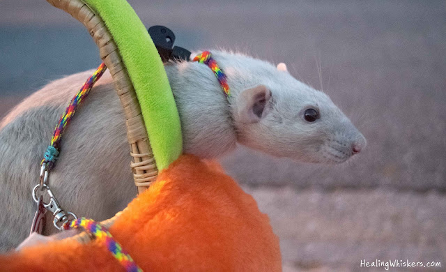 Oliver the Therapy Rat Celebrating Halloween