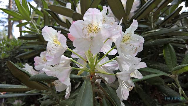 Rhododendron at Alppiruusupuisto