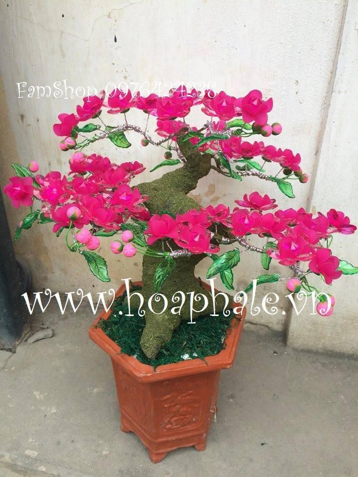 Goc bonsai mai dao cay hoa dao tai Bac Tu Liem