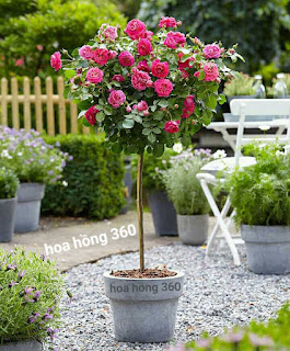 hoa hong tree rose